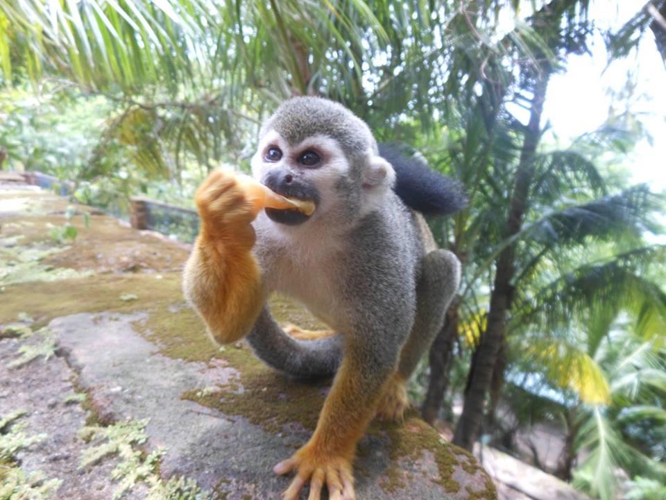 singe aux iles du salut